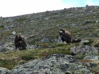Mochus-Ochsen im Dovrefjell